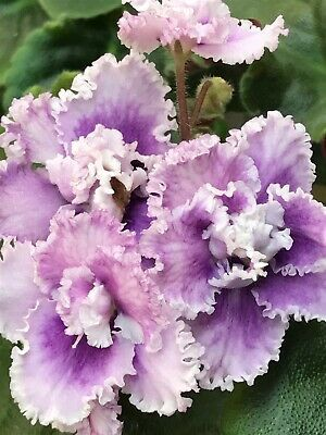 Details about African Violet, Hunter's Racy Lacy (