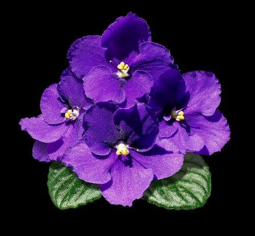 African Violets   flower tattoo ideas   Delta sigma theta ...