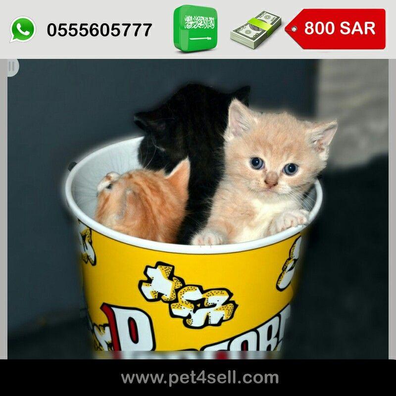 السعودية جده كيتينز شيرازي بعمر الشهرين متعودين على الليتر بوكس وياكلو جميع أنواع الأكل جاف ومعلبات لعوبين مشاء الله وصحتهم ممتازه Pet4 Cats Sar Bucket