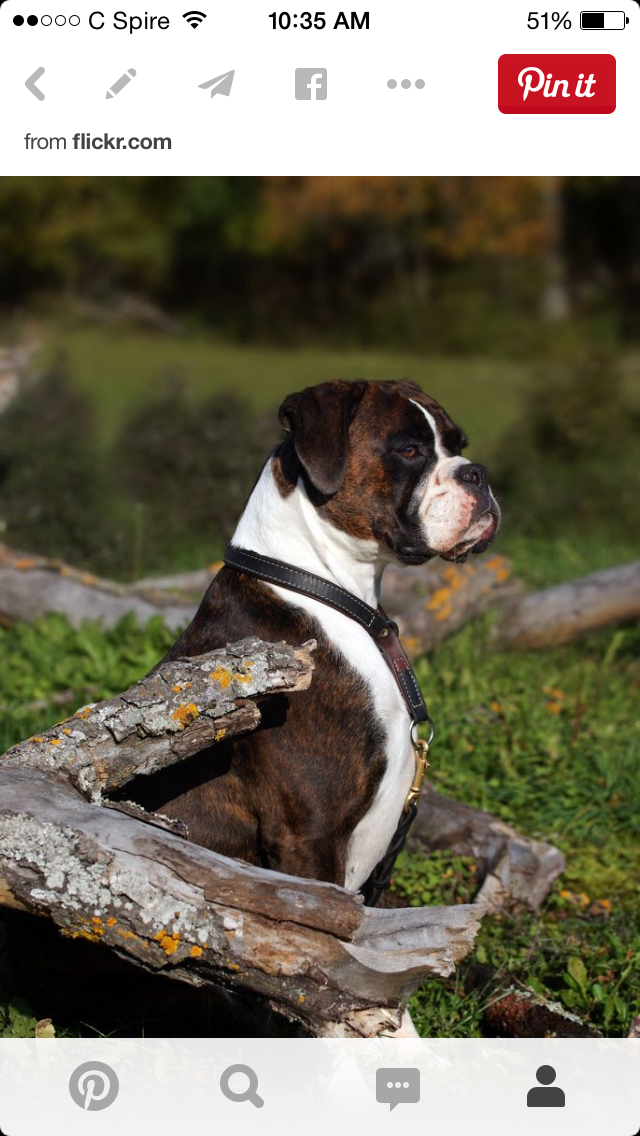 Pin by ann hollowell on Boxers Boxer puppies, Boxer dogs