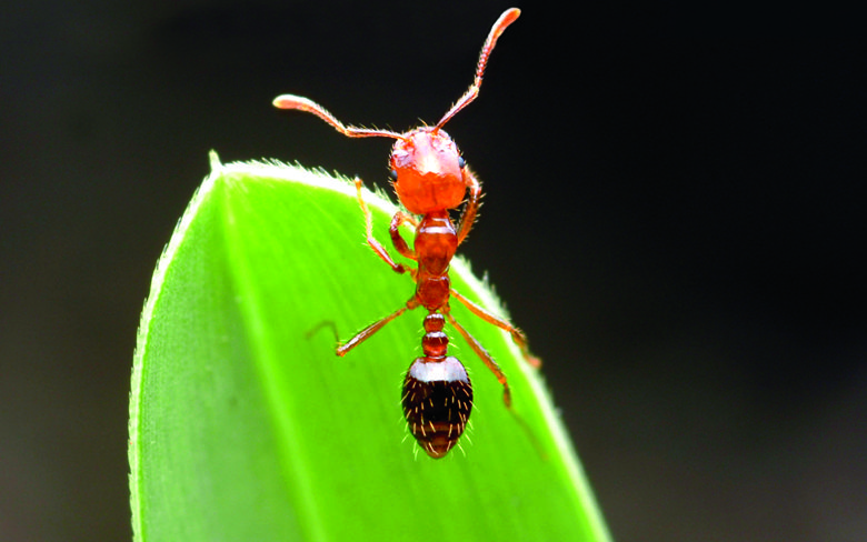 Fire Ant Control Fire Ants Ant Control Ants
