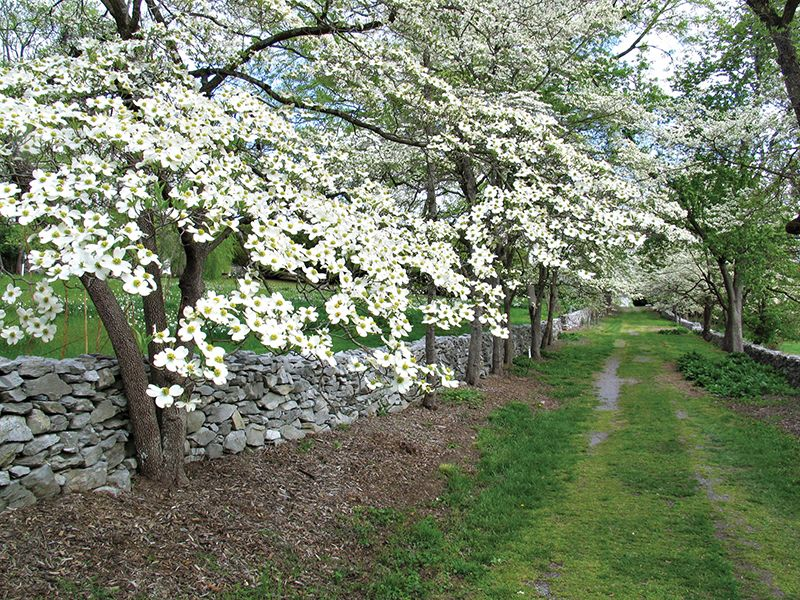 Dogwood Lane Is An Old Farm Road Now Planted With Virginia S State Tree And State Flower The Flowering Dogwood Courtesy Of V Dogwood Trees Tree Arboretum