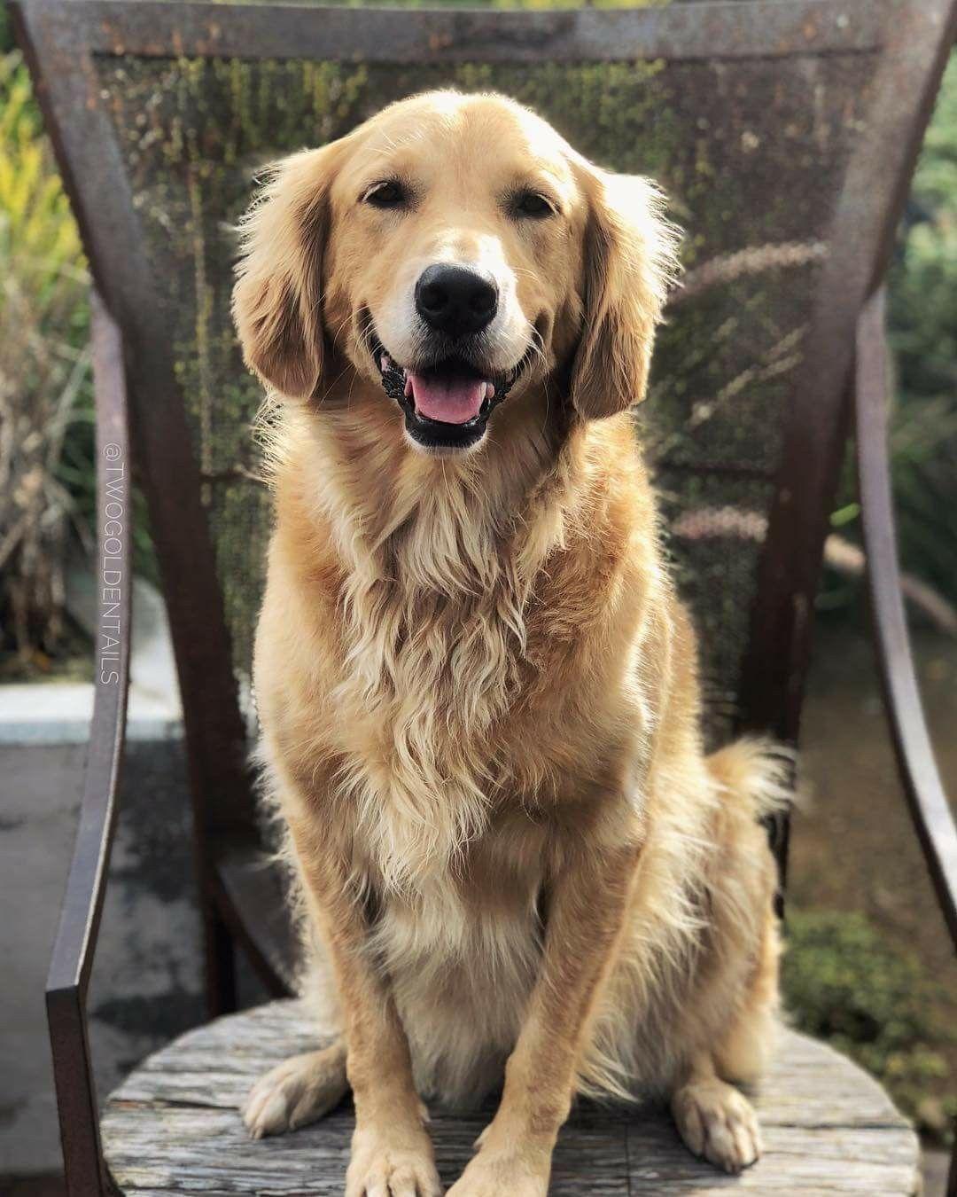 He Looks Like Our Dog Golden Retriever Dogs Golden Retriever