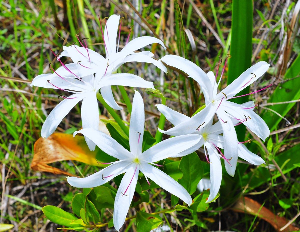 Swamp lily in bloom at fakahatchee strand flowers plants crinum and the family amaryllidaceae a lily like perennial plants that includes about 180 species crinum have large showy flowers on leafless stems izmirmasajfo