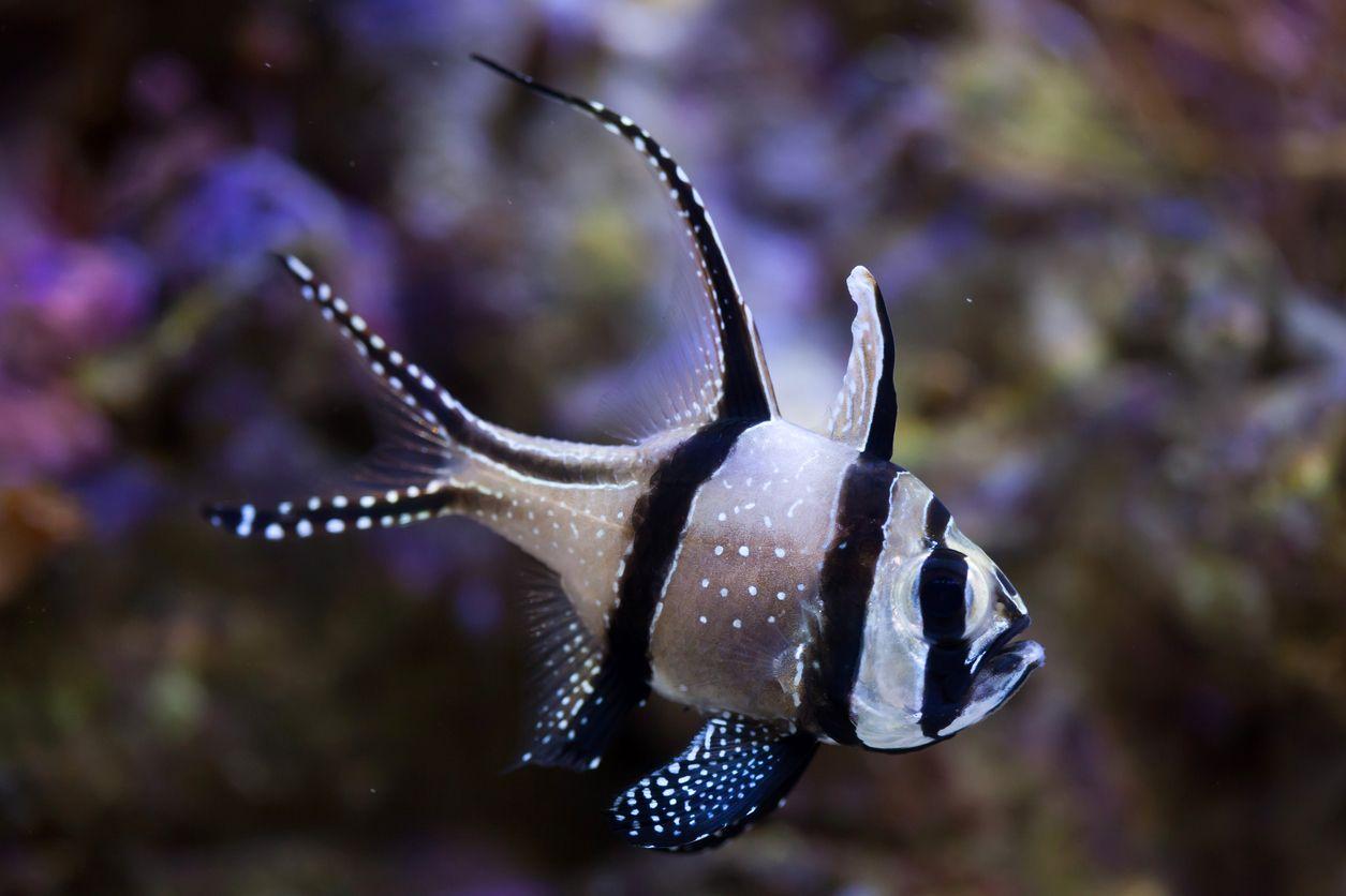 Banggai Cardinalfish Beautiful Fish Fishing World Fish