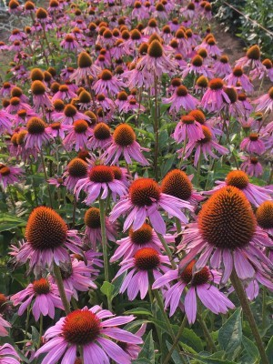 Uprising Organic Seeds Echinacea Purple Coneflower In 2020 Organic Seeds Echinacea Organic Seed Companies