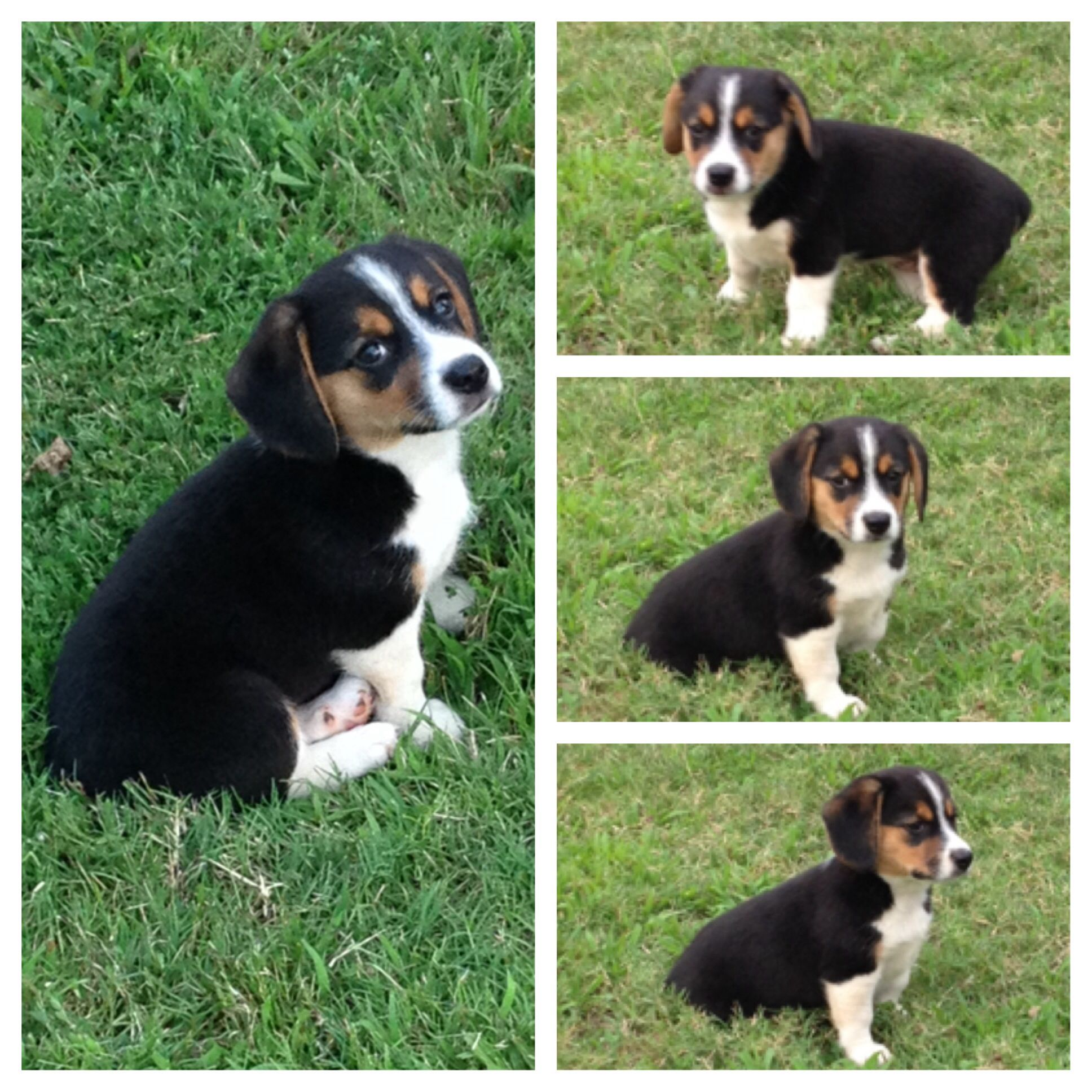 Corgi Beagle Mix Puppy Corgi Beagle Mix Corgi Beagle Corgi