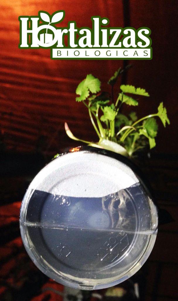 Perejil hidroponico, Bogota Colombia Facebook: hortalizas biológicas
