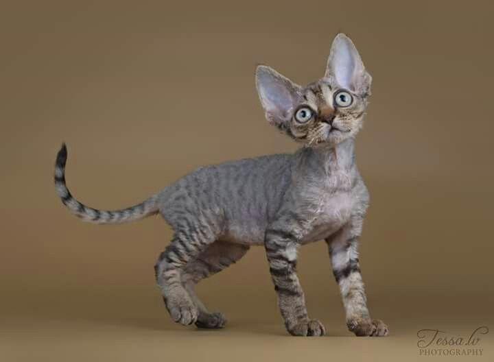 Mackeral Tabby Devon Rex Kitten Rex Cat Devon Rex Cats Devon Rex Kittens