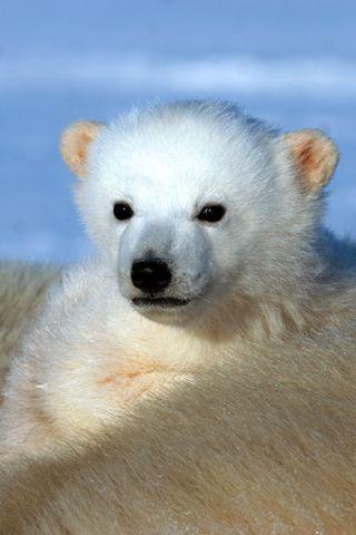 Polar Bear Cub Iphone Wallpaper Amazing Creatures Polar Bear