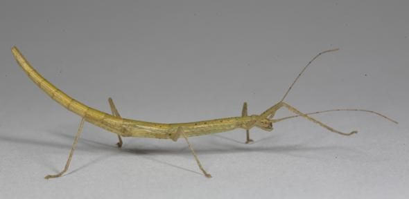 How stick insects honed friction to grip without sticking | University of Cambridge
