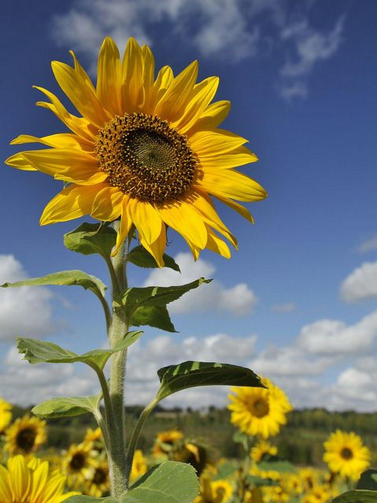 Sign In Sunflower Pictures Sunflower Wallpaper Sunflower Fields