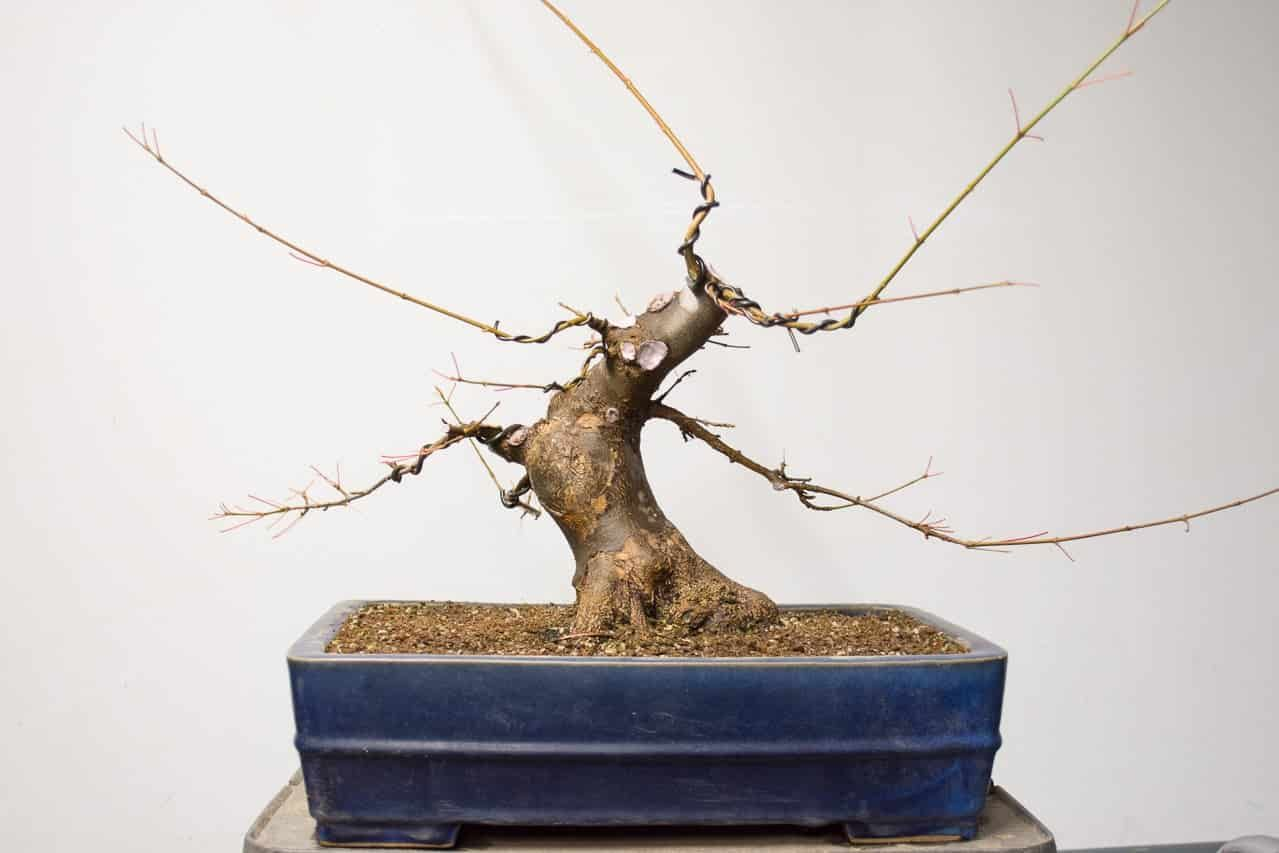 Cutback On Field Grown Trident Maple Bonsai Tonight Maple Bonsai Bonsai Tree Bonsai Tree Care