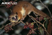 Geoffroy's dwarf lemur