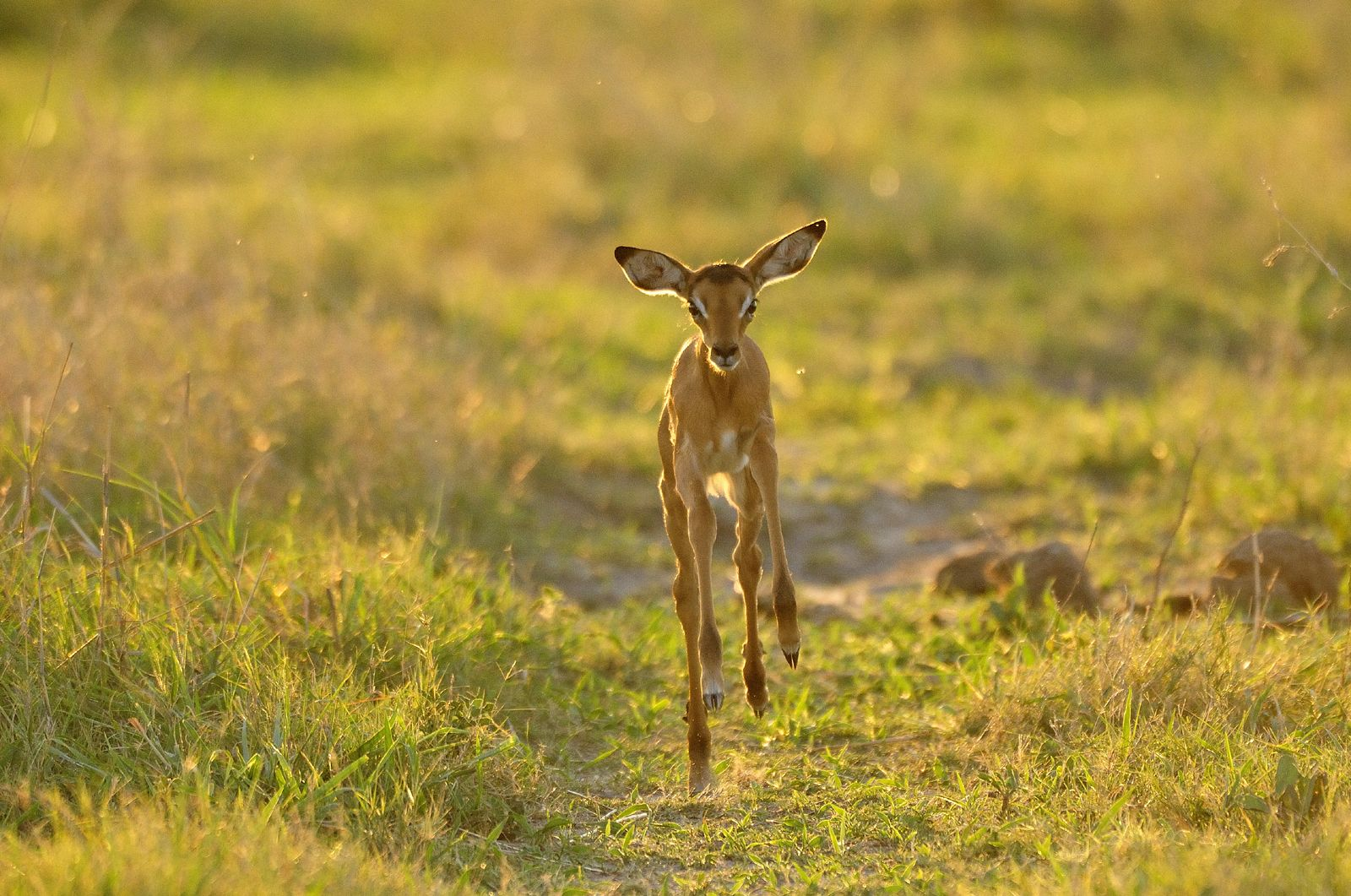 A Baby Reedbuck Frolicking In The Grasslands In Africa
