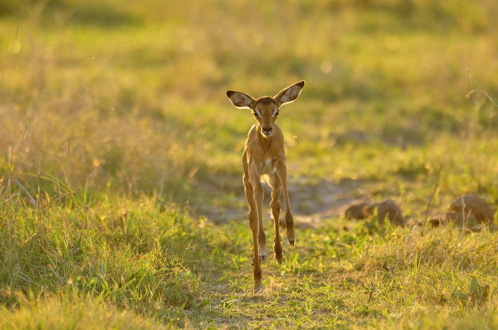 A Baby Reedbuck Frolicking In The Grasslands In Africa Animals Kidsonsafari