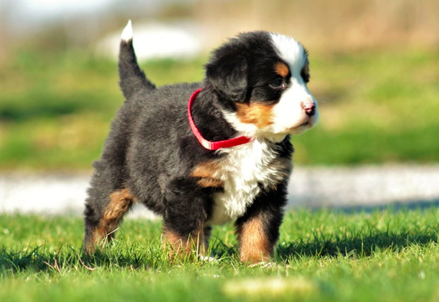 Have You Been Thinking About Adopting A Berner This Is Your Sign