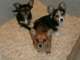 Chihuahua Cross Jack Russell Puppies Harrow Picture 2 Cute Animals Pets Puppies