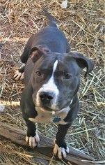 American Pit Bull Terrier Dog For Adoption In Huntsville Al Usa