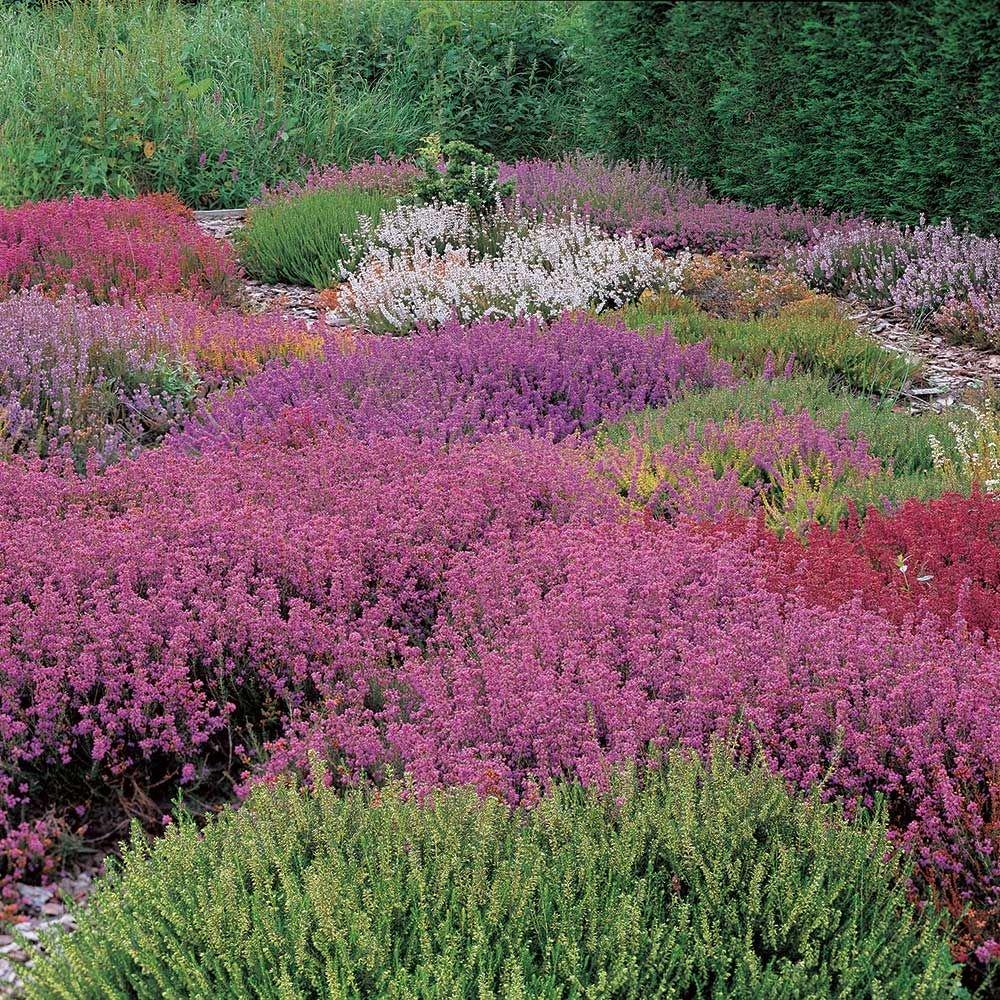 Heath And Heather Collection In 2020 Heather Gardens Garden Shrubs Heath Plant