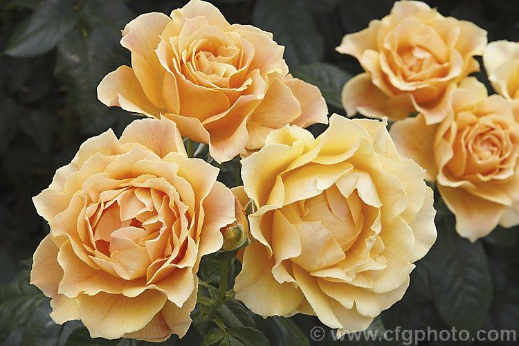 Rosa Easy Going Sport Of Livin Easy Syn Don Quichotte A Cluster Flowered Floribunda Shrub Rose Raised By Harkn Floribunda Roses Shrub Roses Rose