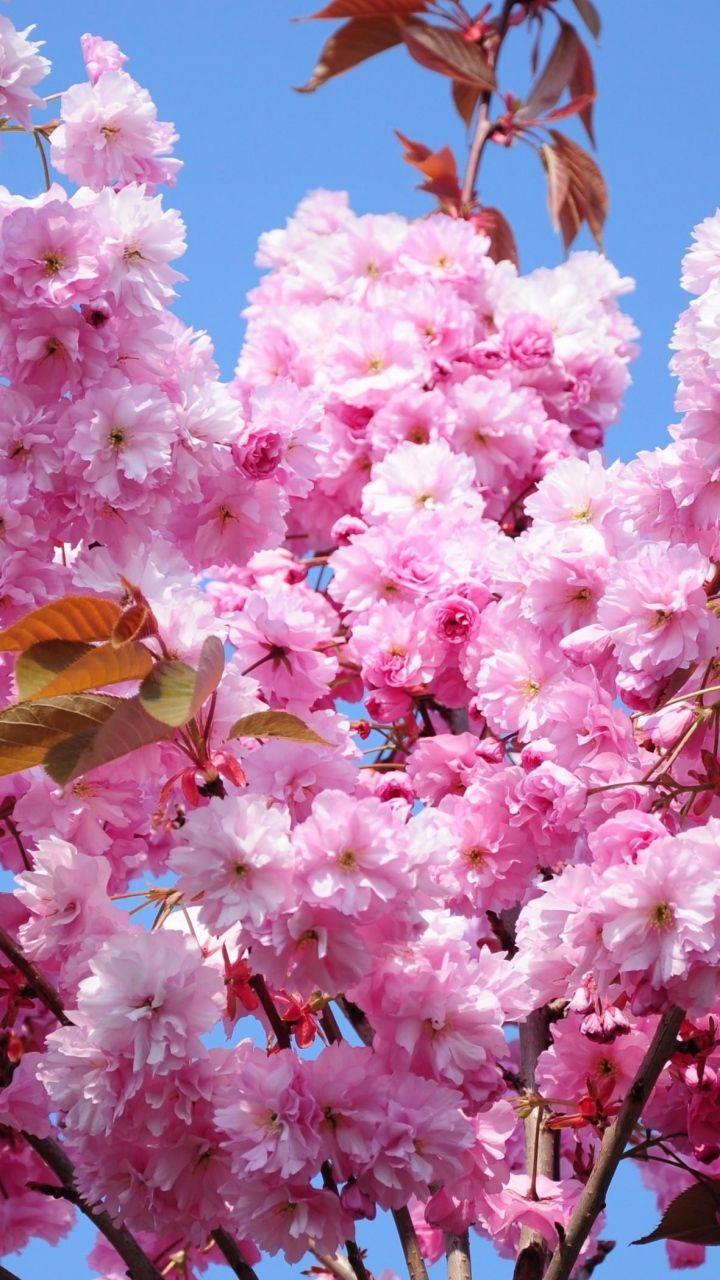 Download Wallpaper 720x1280 Cherry Blossom Branch Spring Foliage Sky Samsung Galaxy S3 Cherry Blossom Wallpaper Flower Iphone Wallpaper Wonderful Flowers