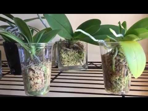 My Results Growing Phalaenopsis Orchids In Moss In Glass Plastic Containers No Holes Youtube