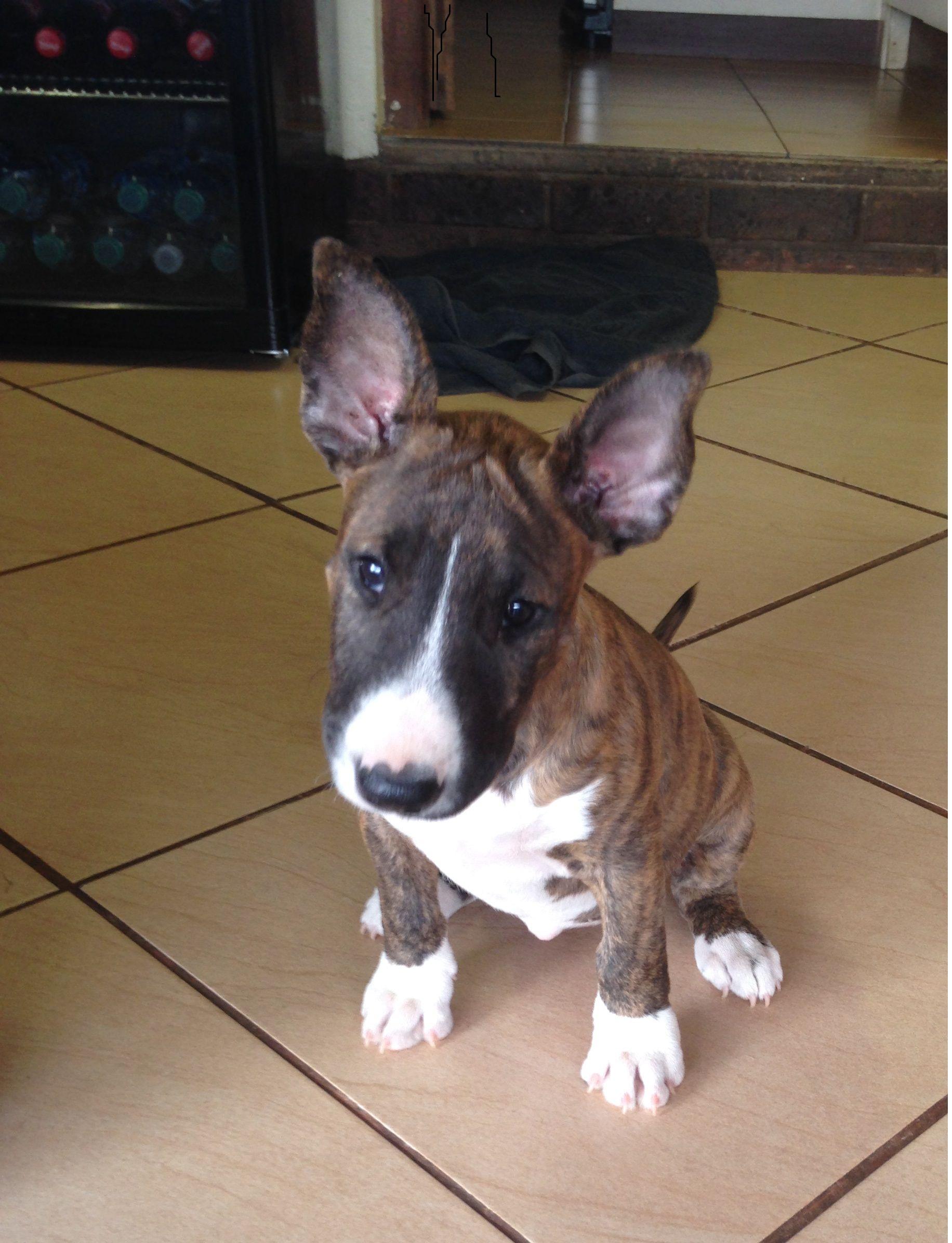 Pitbullpuppieskzn Pitbull Puppies Mini bull terriers Bull