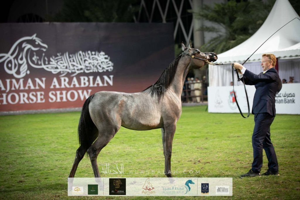 Final Results For The 18th Ajman Arabian Horse Show 2020 Horses Show Horses Arabian Horse