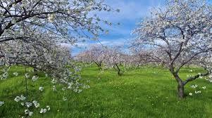 Beautiful Cherry Blossoms Of Door County Wisconsin Door County Wisconsin Door County Wi Door County
