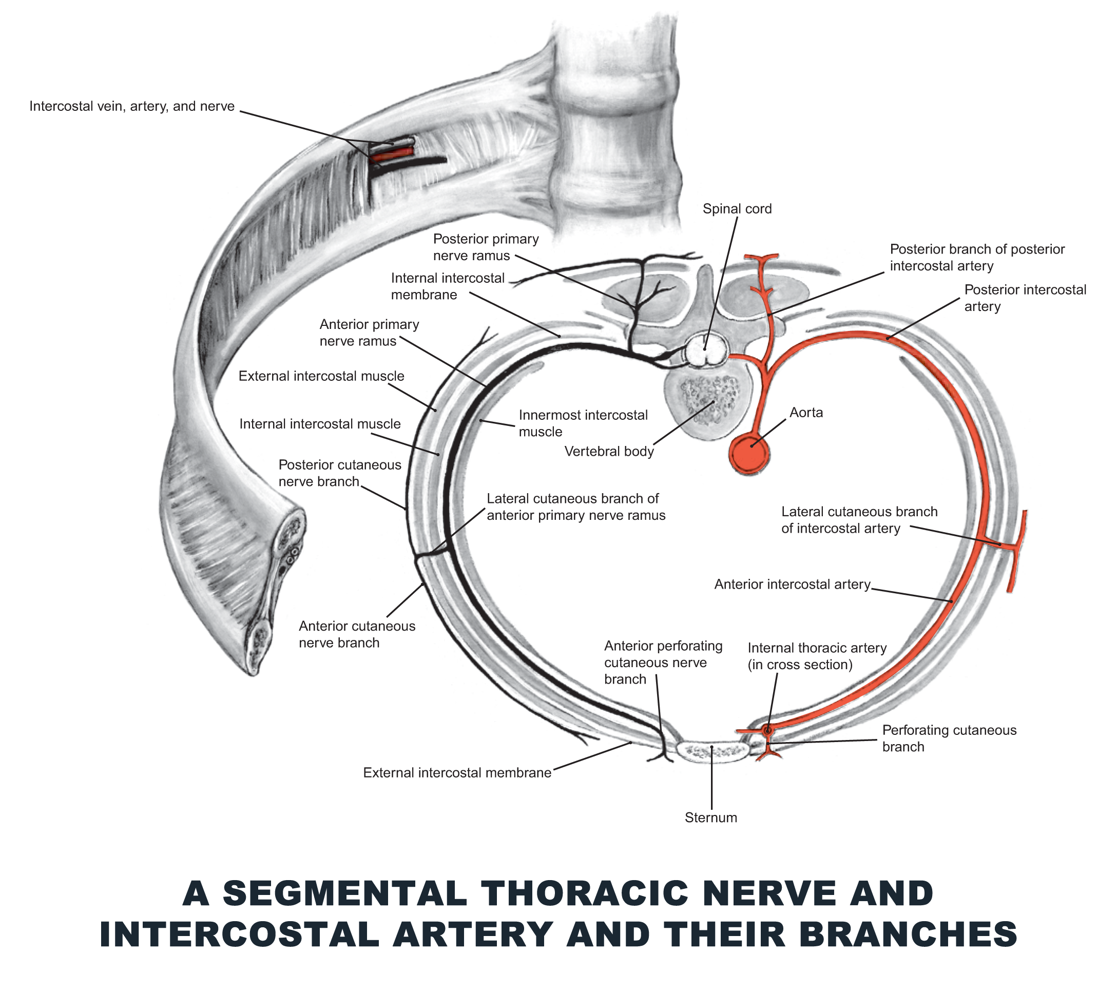 A Segmental Thoracic Nerve And Intercostal Artery And Their Branches