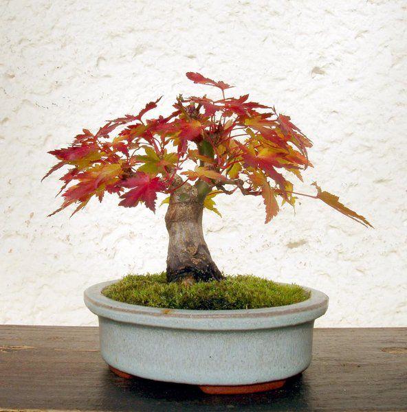 Thema Anzeigen Acer Palmatum Orange Glow 1 Pflanzen Mame Bonsai Bonsai Baum