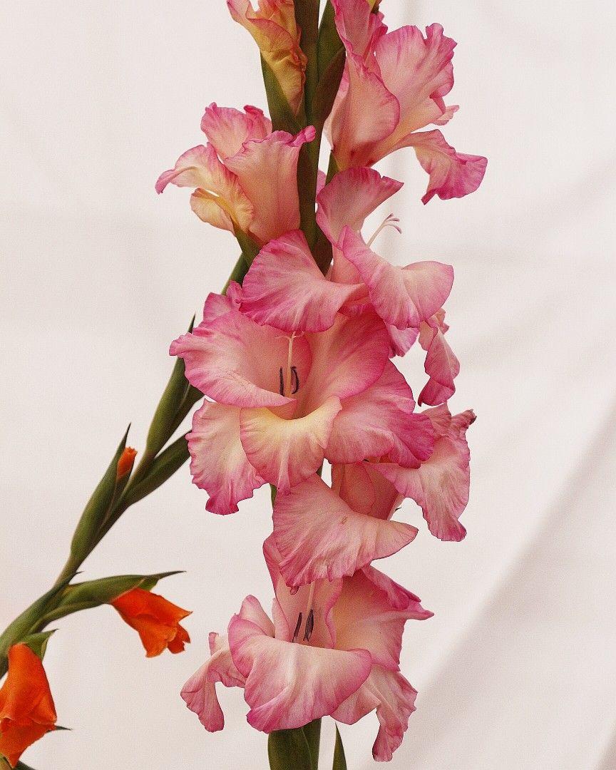 Pink Gladiolus Flower Gladiolus Flower Beautiful Blooms Gladiolus