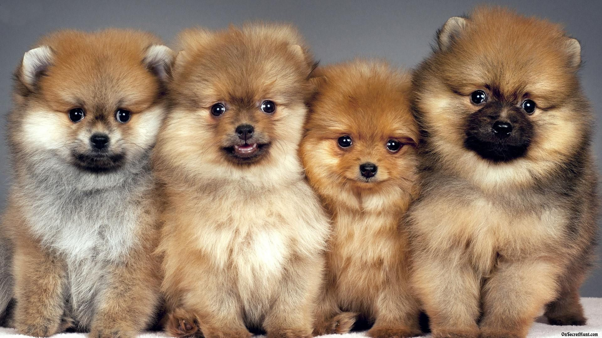 20 Puppy Pictures That Will Make Your Heart Melt So What Are You Waiting For Take A Look At These Adorab Cute Pomeranian Cute Dogs And Puppies Puppy Pictures