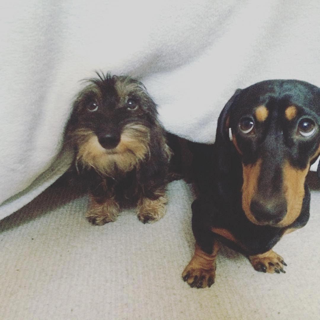 Dachshund Funny Dachshund Puppies Funny Dachshund Dachshund