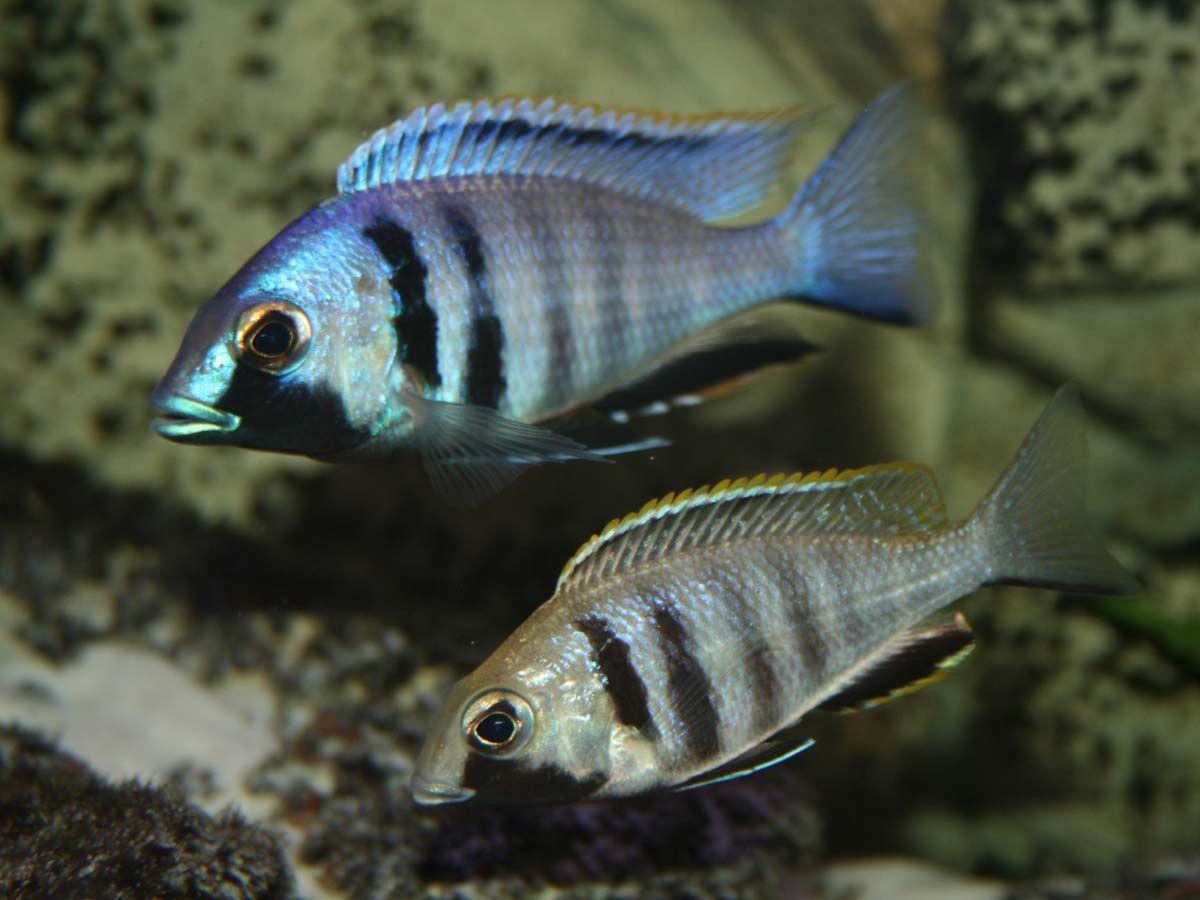 Placidochromis electra Likoma