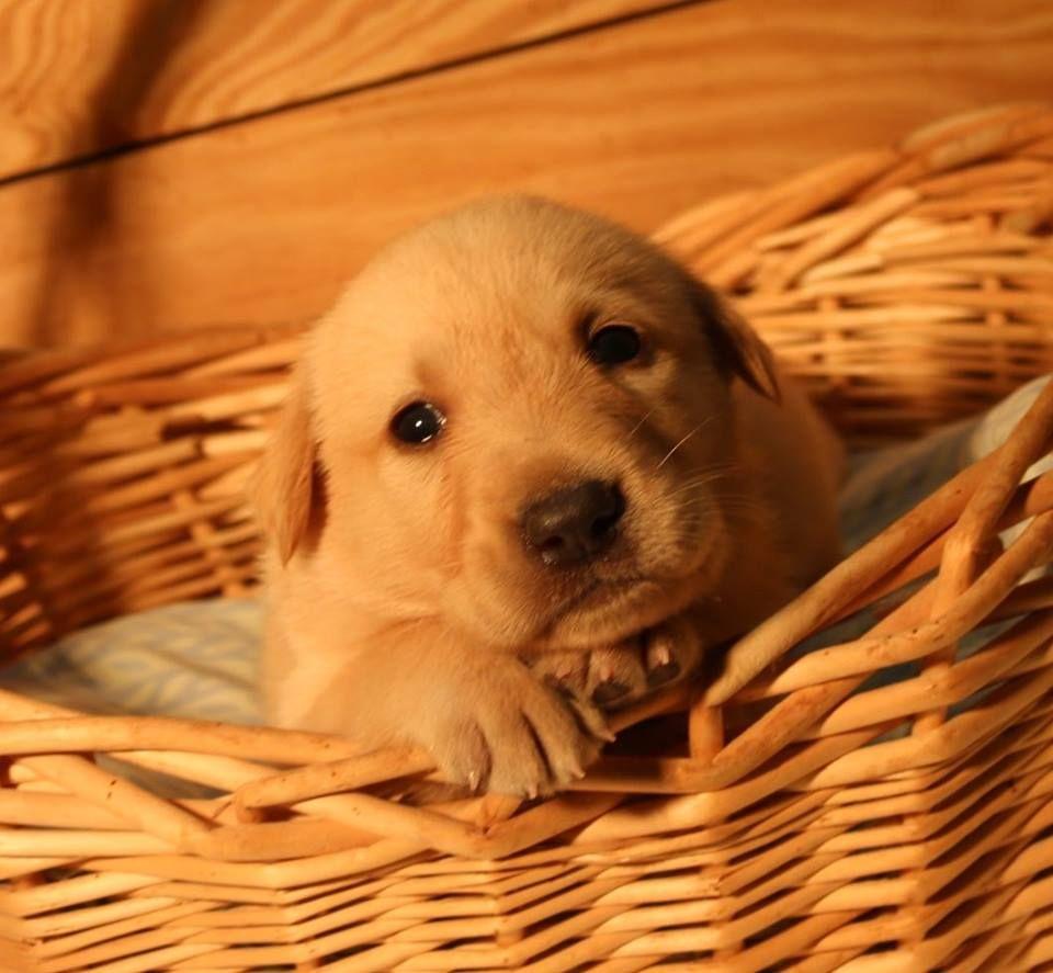 Red golden retriever puppies tennessee