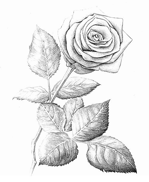 rose drawings in pencil rose 2003 pencil wood. Black Bedroom Furniture Sets. Home Design Ideas