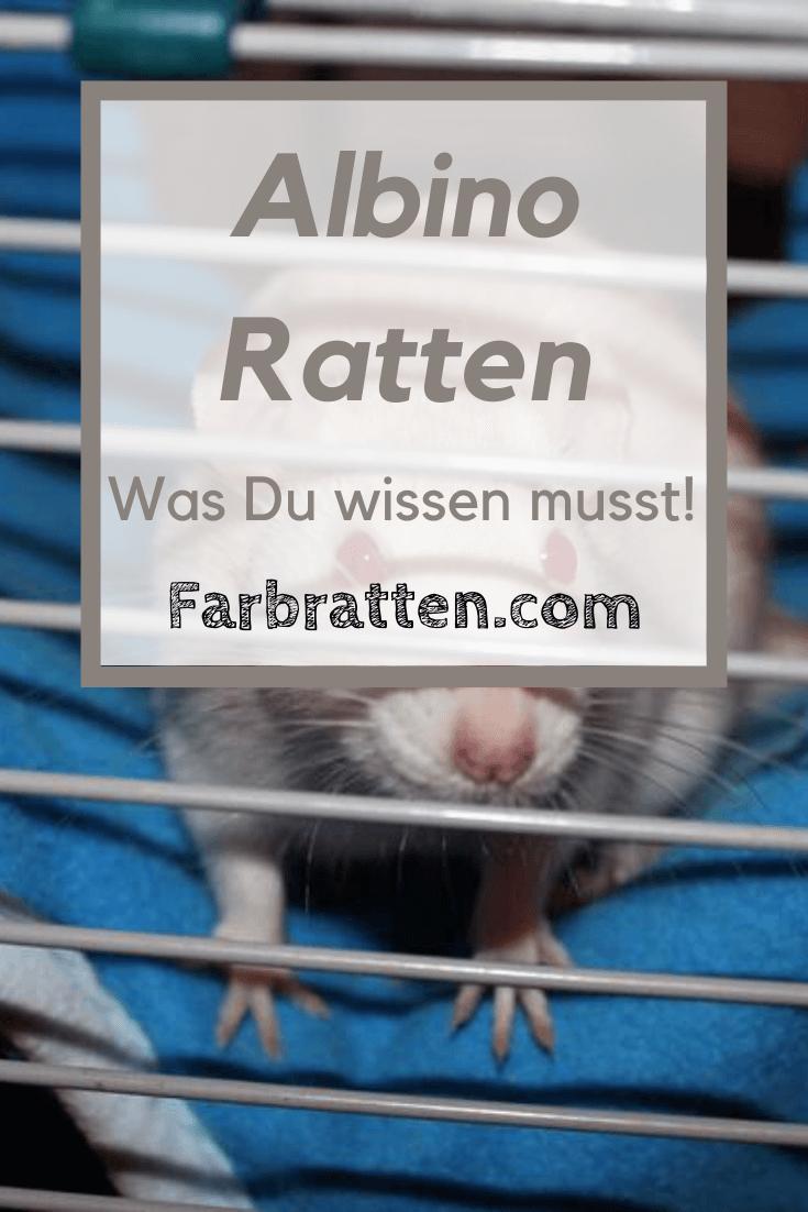 Albino Ratten Haben Zu Unrecht Einen Schlechten Ruf Die Wahrheit Uber Albinismus Gesundheitliche Besonderheiten Zwei In 2020 Ratten Ratte Haustier Haustiere