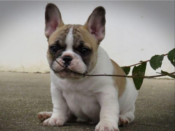 We Have Been Breeding And Raising Top Quality French Bulldogs For