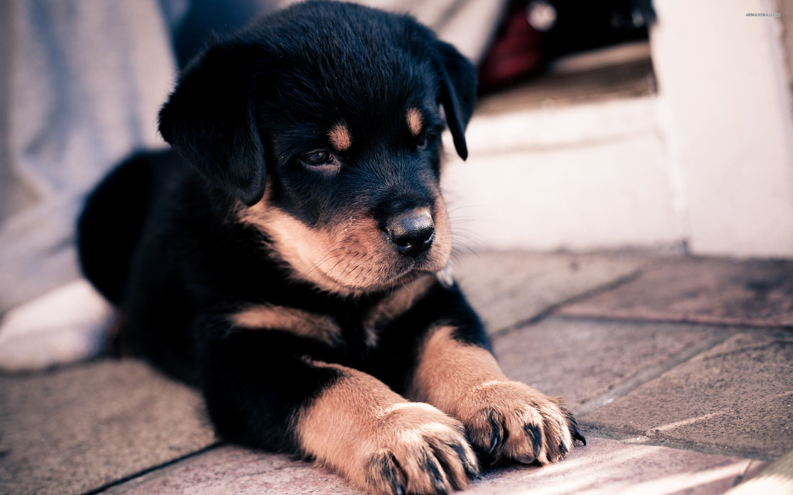 Colorful Pictures Of Rotties Wallpapers Pitbull Dog Rottweiler