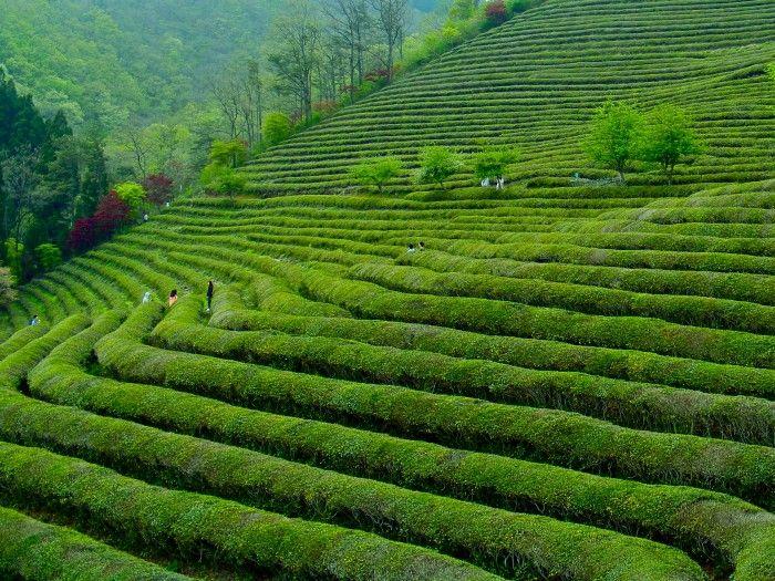 The Boseong Tea Fields in Jeollanam-do: A Tea Lover's Dream
