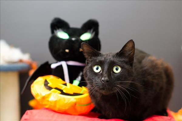 TrickorTreat! I'm Zorro, one handsome cat! It is my