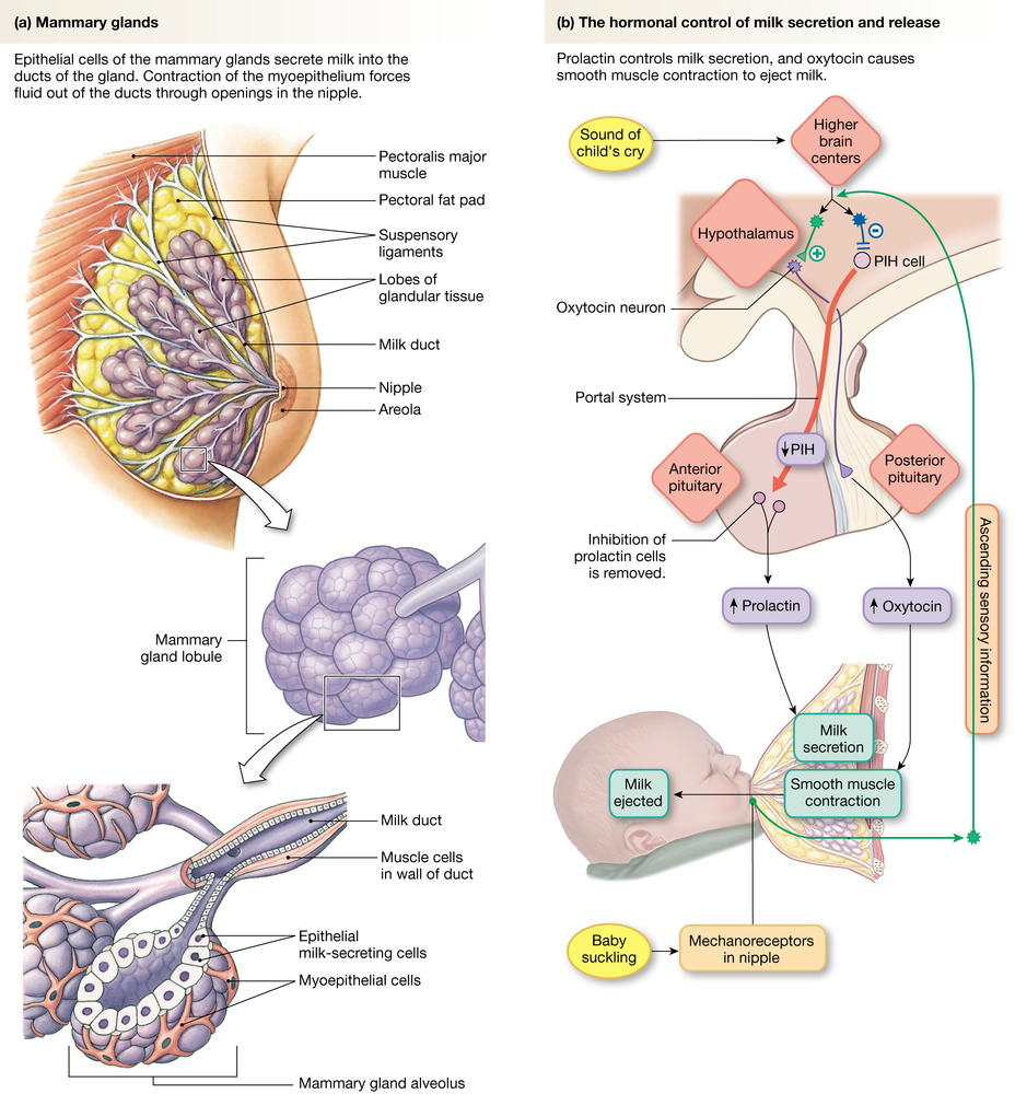 Pregnancy and Parturition | Physiology Class | Pinterest | Pregnancy