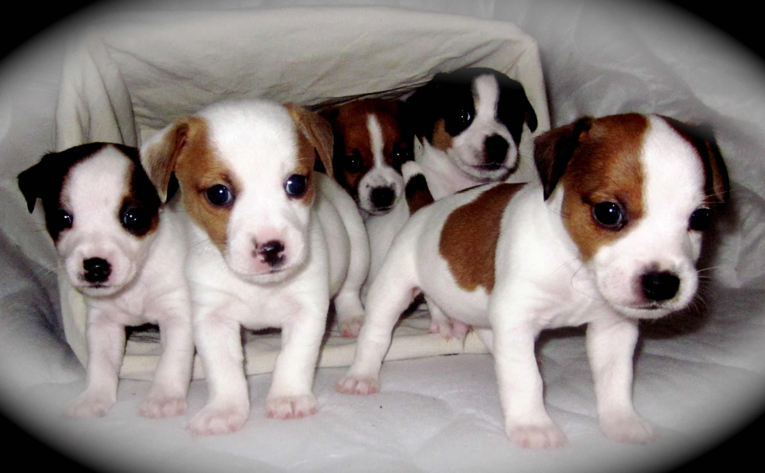 jack russell terrier mass image detail for jack russell terrier puppies for sale 364