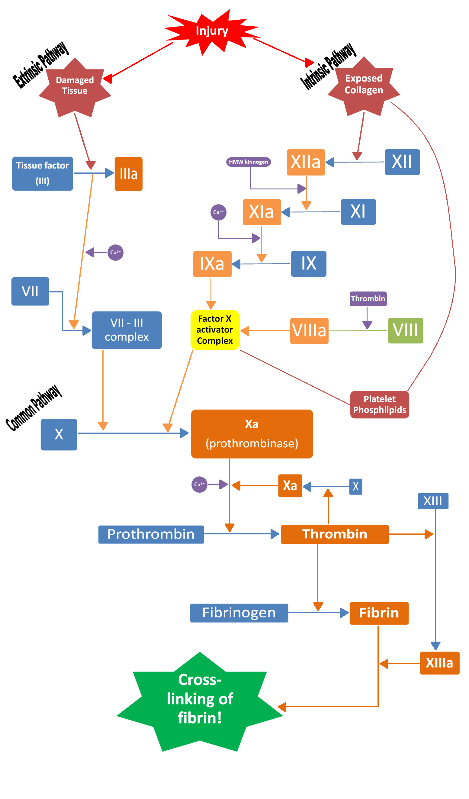 Physiology of clotting   almostadoctor.com - free medical student ...