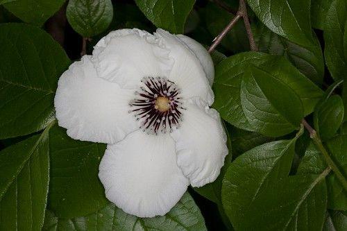 Stewartia malacodendron #1