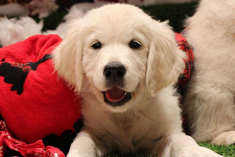 White Golden Retriever Puppies For Sale In Medford Or