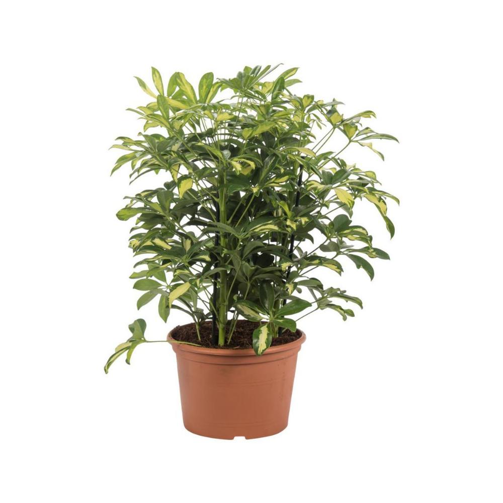 Szeflera Mix 55 Cm Kwiaty Doniczkowe W Atrakcyjnej Cenie W Sklepach Leroy Merlin Plants Planters Herbs