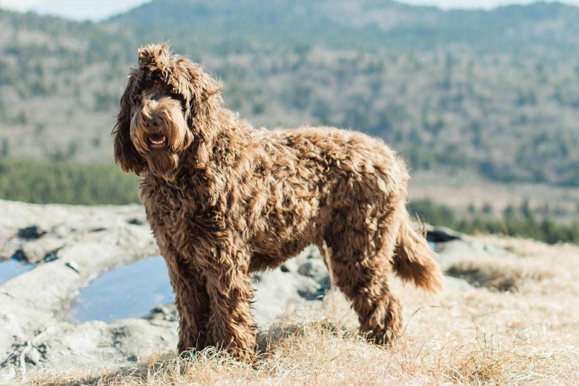 Baloo The Newfypoo Newfoundland Poodle Mix Best Dog Instagram